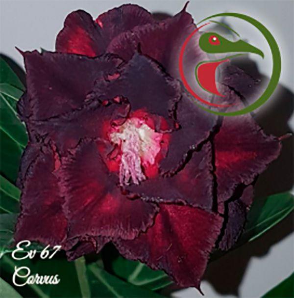 Muda Rosa do Deserto de enxerto com flor tripla na cor Negra - EV67