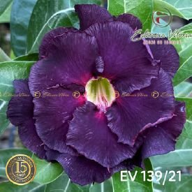 Muda Rosa do Deserto de enxerto com flor dobrada na cor roxa - EV139/21