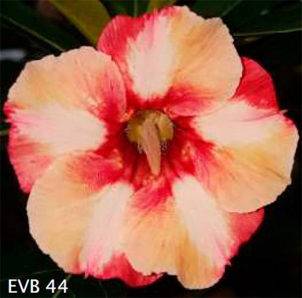 Muda Rosa do Deserto de enxerto com flor simples na cor matizada - EVB44