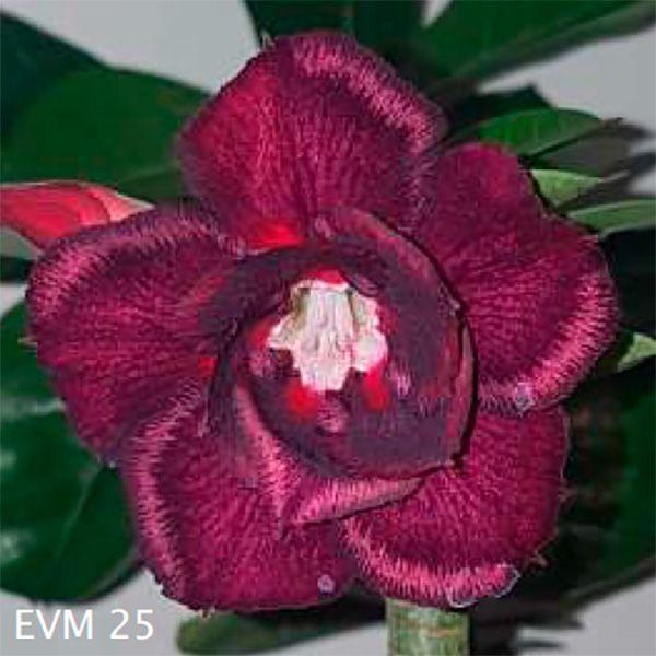 Muda Rosa do Deserto de enxerto com flor dobrada na cor vinho - EVM25