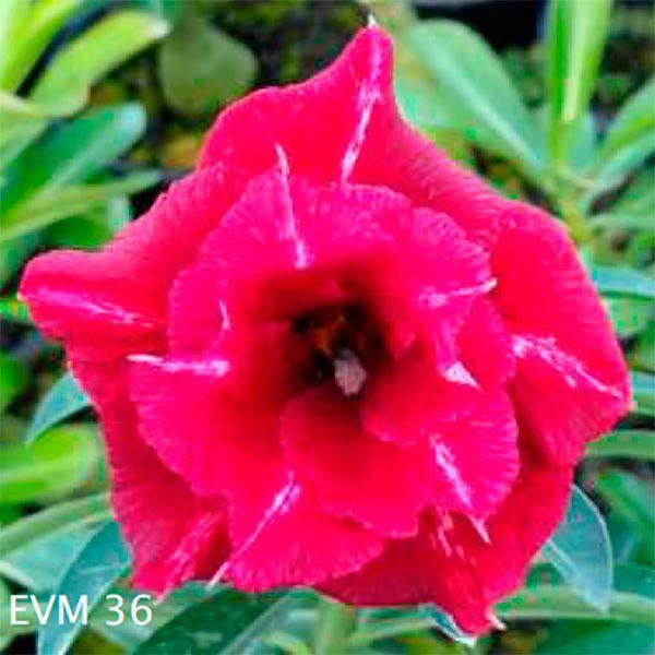 Muda Rosa do Deserto de enxerto com flor dobrada na cor vermelha - EVM36