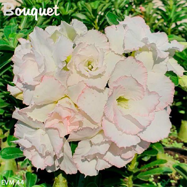 Muda Rosa do Deserto de enxerto com flor dobrada na cor Branca - EVM44 - Bouquet