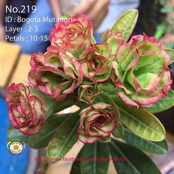 Sai Gon Adenium - MIX com 25 sementes - MIX 12