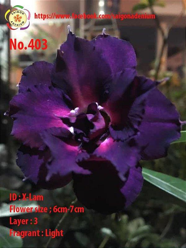 Sai Gon Adenium - MIX com 50 sementes - MIX 17