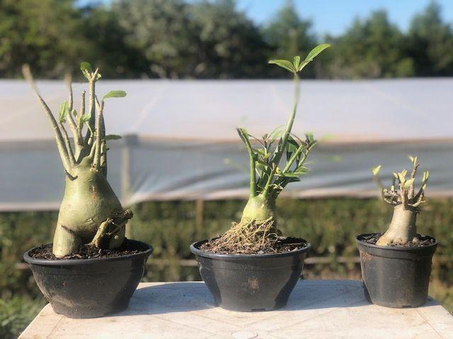 Trio AOT - Arabicum, Obesum e Thai Socotranum