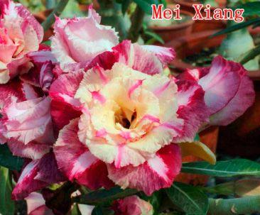 Enxerto de uma cor com flor tripla - Mei Xiang - Importada