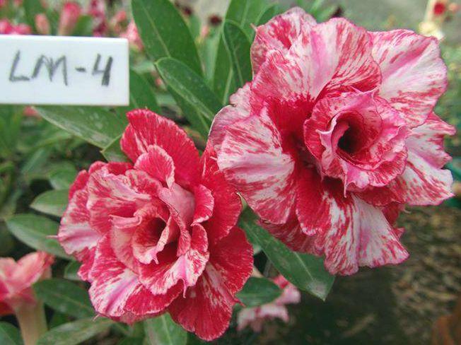 Enxerto de uma cor com flor triplas - LM-4 - Nacional