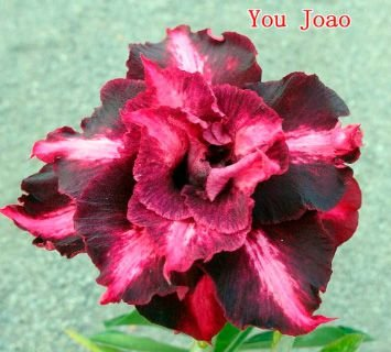 Enxerto de uma cor com flor tripla - You Joao - Importada