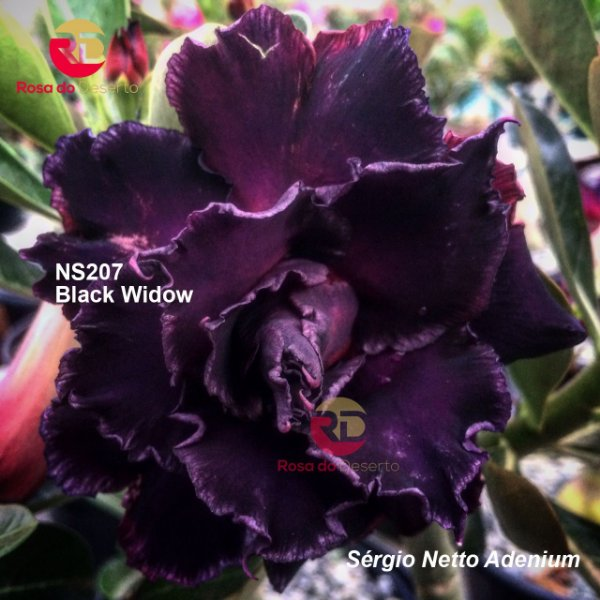 Enxerto de uma cor com flor tripla - NS207 (Black Widow) - Importada