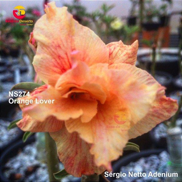 Enxerto de uma cor com flor dobrada - NS274 (Orange Lover) - Importada