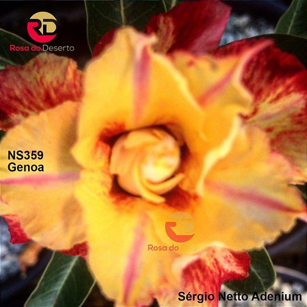 Enxerto de uma cor com flor tripla - NS359 (Genoa) - Importada