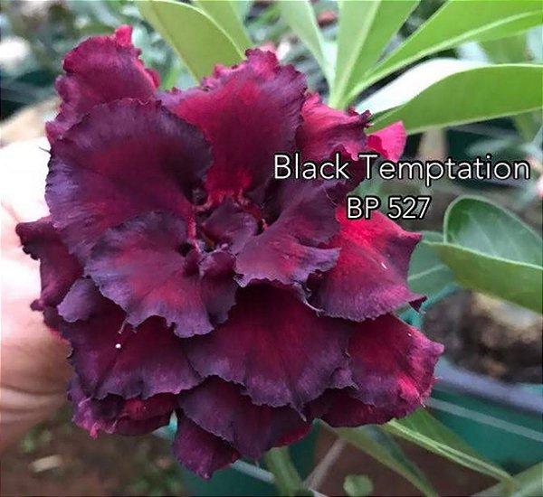Enxerto de uma cor com flor tripla BP 527 (Black Temptation) - Importada