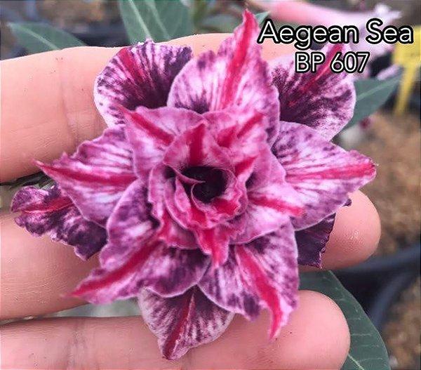 Enxerto de uma cor com flor tripla BP 607 (Aegean Sea) - Importada