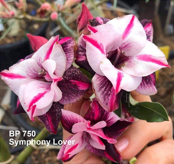 Enxerto de uma cor com flor dobrada BP 750 (Symphony Lover) - Importada