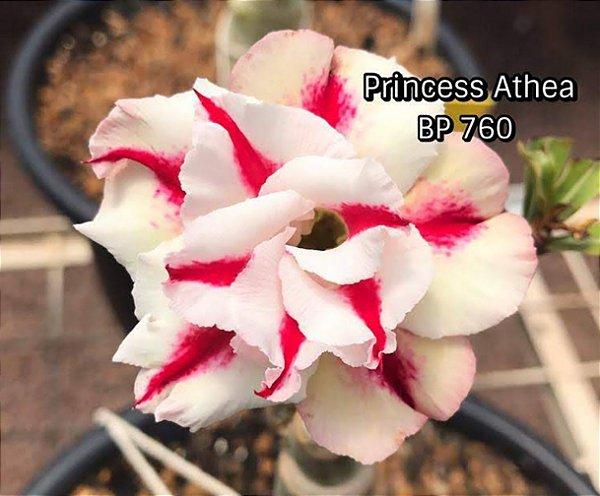 Enxerto de uma cor com flor dobrada BP 760 (Princess Athea) - Importada