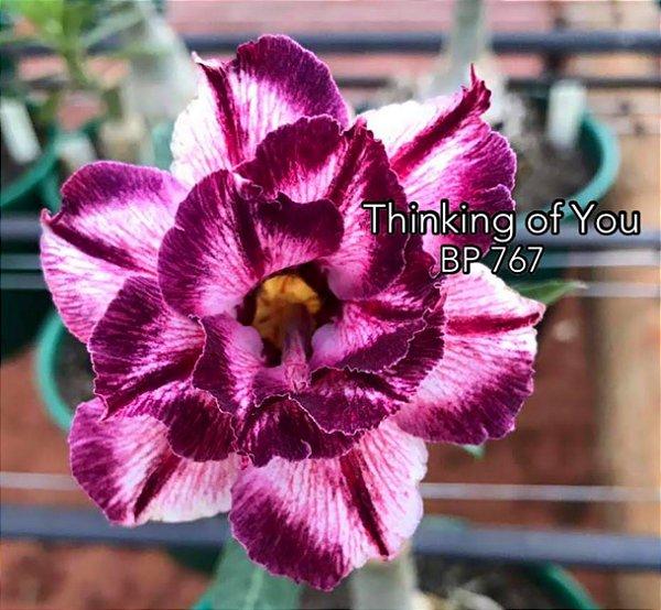 Enxerto de uma cor com flor dobrada BP 767 (Thinking of You) - Importada