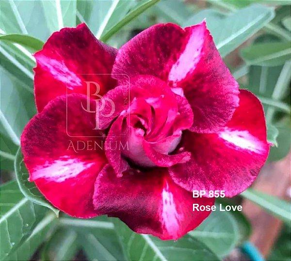 Enxerto de uma cor com flor dobrada BP 855 (Rose Love) - Importada