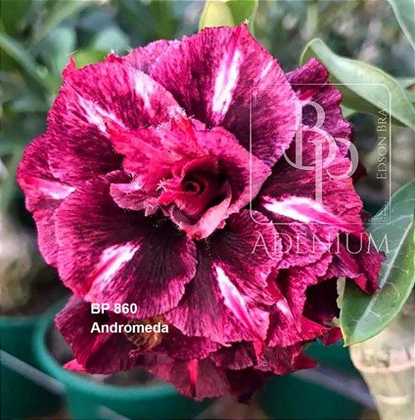 Enxerto de uma cor com flor tripla BP 860 (Andromeda) - Importada