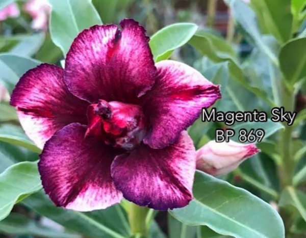 Enxerto de uma cor com flor dobrada BP 869 (Magenta Sky) - Importada