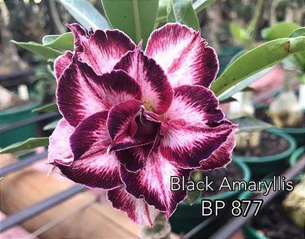 Enxerto de uma cor com flor tripla BP 877 (Black Amaryllis) - Importada