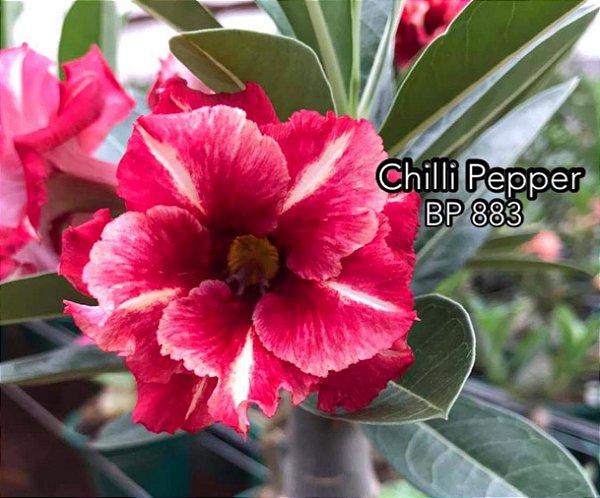 Enxerto de uma cor com flor dobrada BP 883 (Chilli Pepper) - Importada