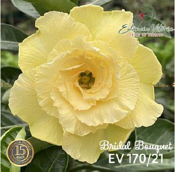 Muda Rosa do Deserto de enxerto com flor tripla bouquet na cor amarela - EV170/21 Bridal Bouquet