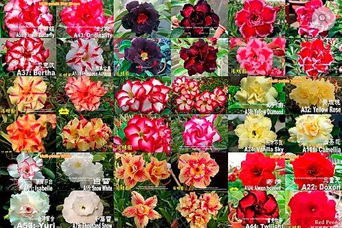 MIX com 5 sementes de flores simples, dobradas e triplas - Yang Ming