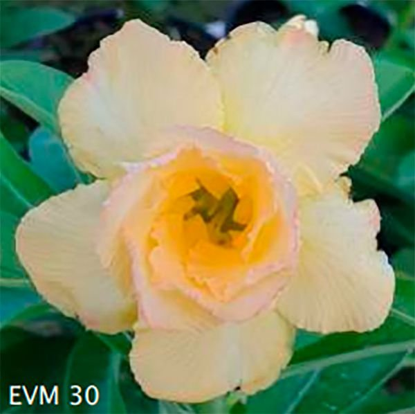 Muda Rosa do Deserto de enxerto com flor dobrada na cor Amarelo Creme - EVM30
