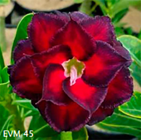 Muda Rosa do Deserto de enxerto com flor dobrada na cor Vermelha e Roxa - EVM45