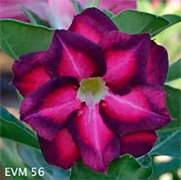Muda Rosa do Deserto de enxerto com flor dobrada na cor Pink com Roxo - EVM56