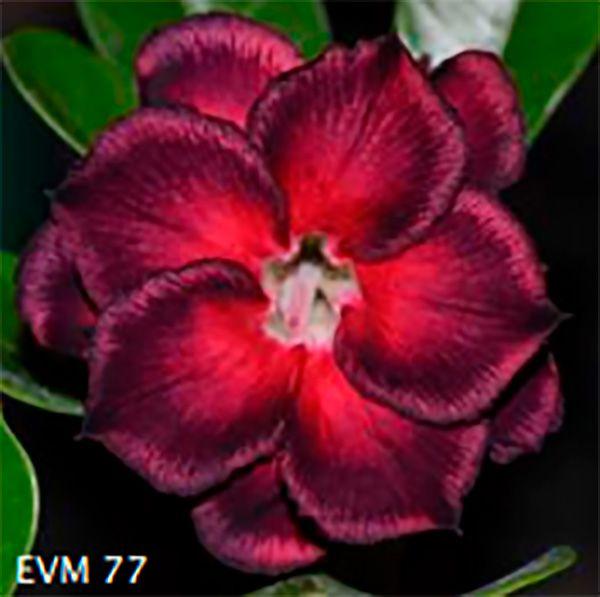 Muda Rosa do Deserto de enxerto com flor dobrada na cor Vermelha e Vinho - EVM77