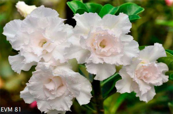 Muda Rosa do Deserto de enxerto com flor dobrada na cor Branca - EVM81