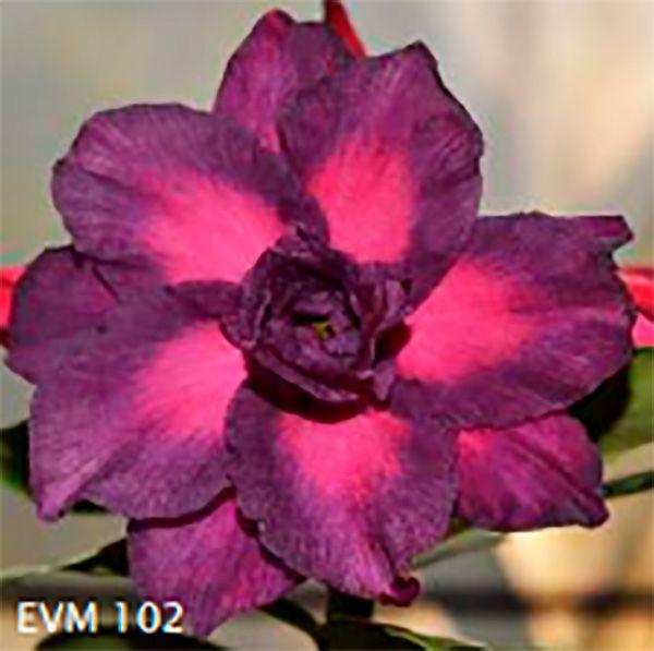 Muda Rosa do Deserto de enxerto com flor tripla na cor Roxa e Rosa - EVM102
