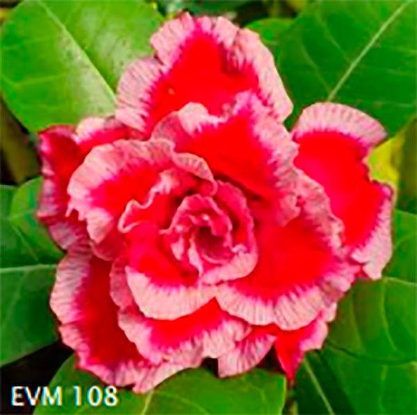 Muda Rosa do Deserto de enxerto com flor tripla na cor Vermelha e Branca - EVM108