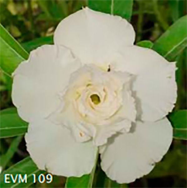 Muda Rosa do Deserto de enxerto com flor tripla na cor Branca - EVM109