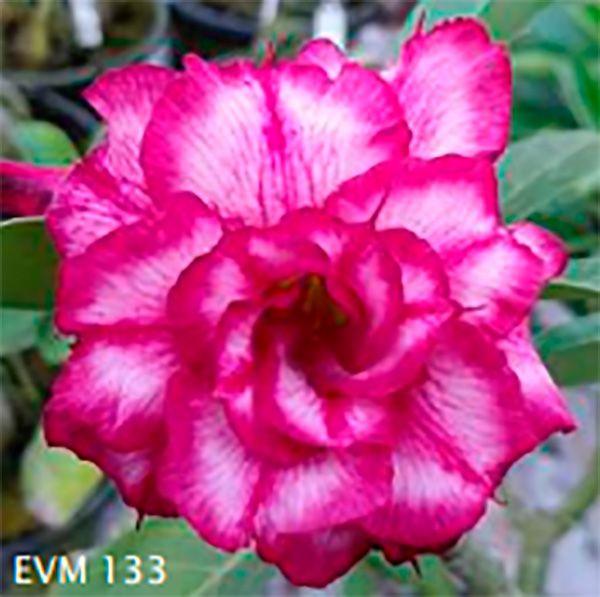 Muda Rosa do Deserto de enxerto com flor tripla na cor Matizada - EVM133