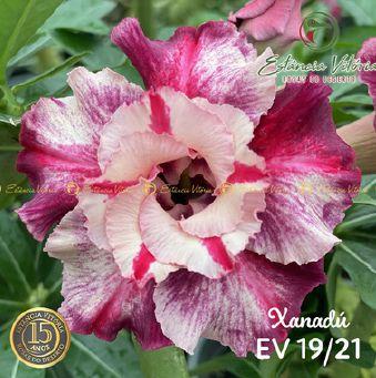 Muda Rosa do Deserto de enxerto com flor dobrada na cor Matizada - EV19/21 XANADÚ