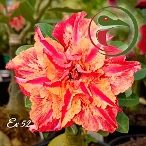 Muda Rosa do Deserto de enxerto com flor tripla na cor Matizada - EV52