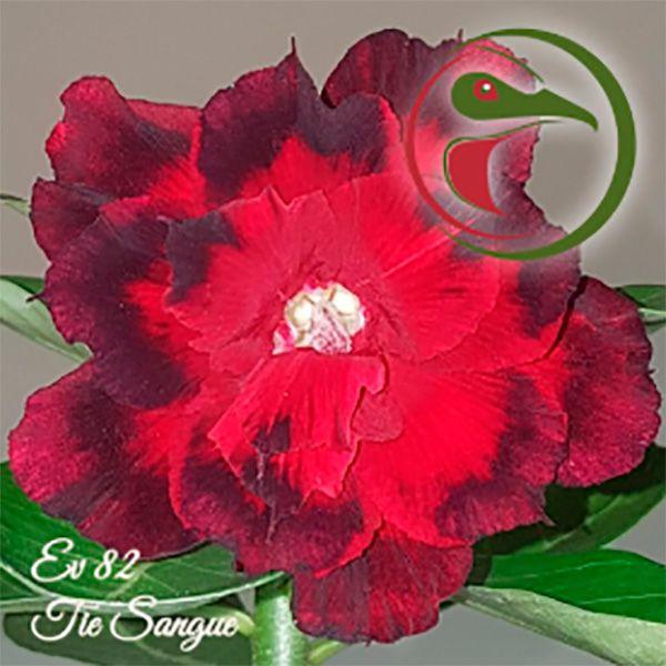 Muda Rosa do Deserto de enxerto com flor tripla na cor Vermelha e Preto - EV82