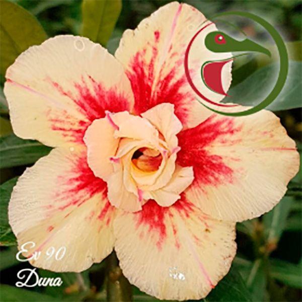 Muda Rosa do Deserto de enxerto com flor dobrada na cor Matizada - EV90