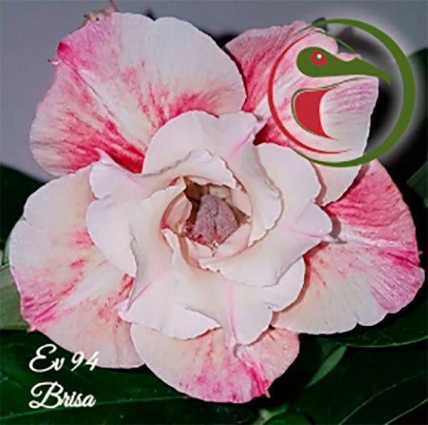 Muda Rosa do Deserto de enxerto com flor dobrada na cor Matizada - EV94