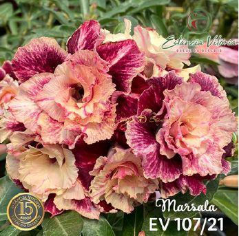 Muda Rosa do Deserto de enxerto com flor tripla na cor Matizada - EV107/21 Marsala