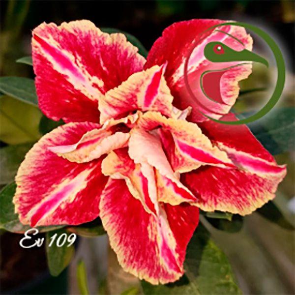 Muda Rosa do Deserto de enxerto com flor dobrada na cor Matizada - EV109