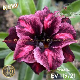 Muda Rosa do Deserto de enxerto com flor dobradas na cor Roxa Matizada - EV119/21 Paris