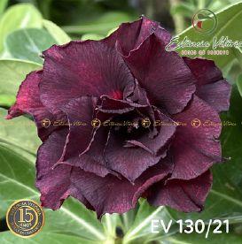Muda Rosa do Deserto de enxerto com flor dobrada na cor Negra - EV130/21