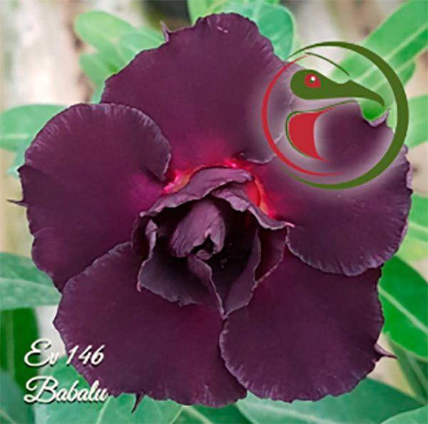 Muda Rosa do Deserto de enxerto com flor dobrada na cor Roxa - EV146 BABALU