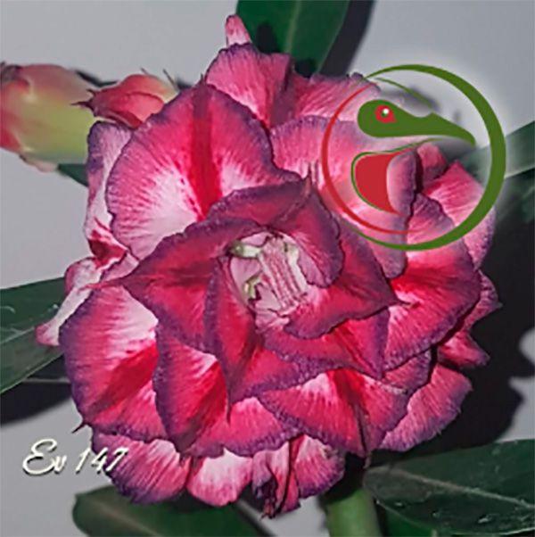 Muda Rosa do Deserto de enxerto com flor tripla na cor Matizada - EV147
