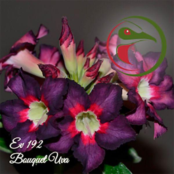 Muda Rosa do Deserto de enxerto com flor simples na cor Uva - EV192 - BOUQUET UVA