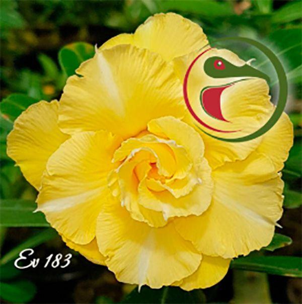 Muda Rosa do Deserto de enxerto com flor tripla na cor Amarela - EV183