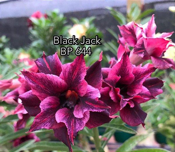 Enxerto de uma cor com flor dobrada BP 644 (Black Jack) - Importada